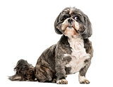 Shih Tzu (7 years old)