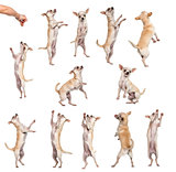 Collection of 12 Chihuahuas, differents position, isolated on wh