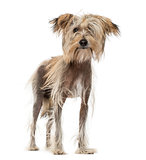 Chinese Crested Dog (10 months old)