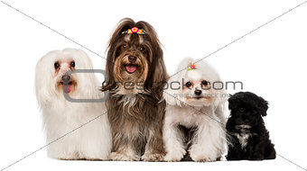 group of dog : maltese and Havanese puppy