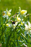 Bumble Bee on Daffodils