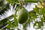 Fresh green mango fruit plant outside in summer