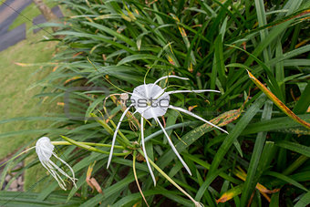 Beautiful spider lily, Hymenocallis littoralis
