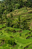 Lush green terraced farmland in Bali