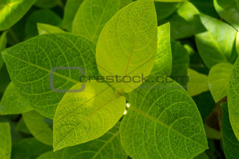 Background of fresh green leaves