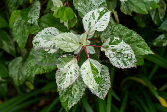 Ornamental variegated leafy shrub