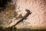 Small monitor lizard sunning on a ledge