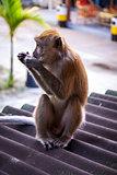 Adult macaque monkey sitting eating fruit