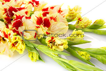 Beautiful red and white gladiolus isolated \ horizontal