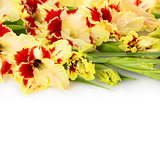 Beautiful fresh gladiolus isolated square background