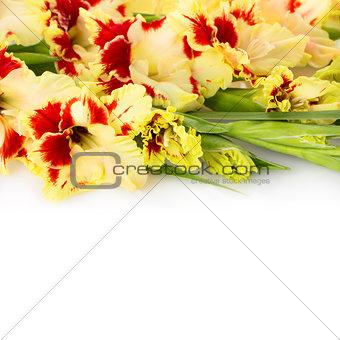 Beautiful fresh gladiolus isolated square background