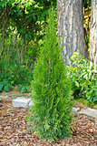 small thuja planted in garden