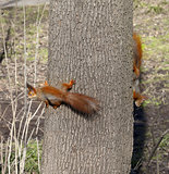 Two red squirrels on tree trunk