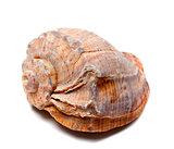 Rapana shell