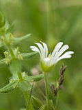 Withe chickweed flower