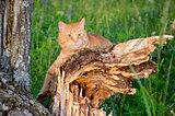 Red cat is sitting on a tree in a forest in summer