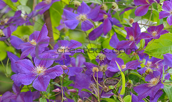 Clematis flower on a fence