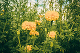 Marigolds or Tagetes erecta flower vintage