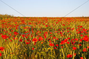 Corn field with red blossom poppies in evening sun