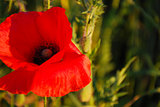 Closeup of a red poppy