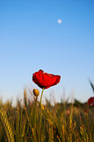 Single poppy at bright background
