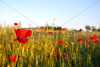 Poppy field closeup with focus on one flower