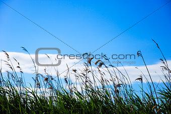 Reeds at blue sky