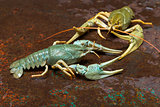 Two live crayfish