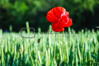One poppy flower in a grain field