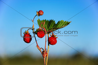 Wild strawberries at blue sky