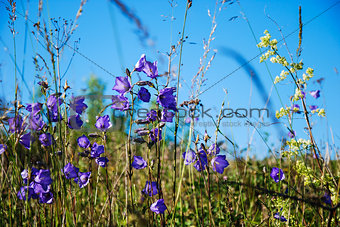 Group of bellflowers in a summer meadow