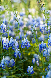 Monkshood (Aconitum autumnale)