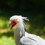Detail of Secretary bird (Sagittarius serpentarius) on a green b