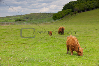 The herd of aberdeen angus on spring meadow