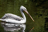 Dalmatian Pelican fishing in the water
