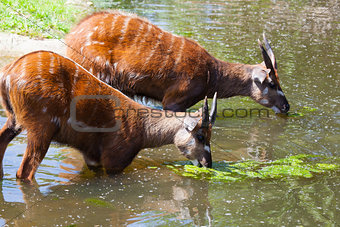 Antelope Sitatunga eats water algae in the small lake