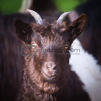 Alpen hairy goat