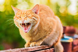 Red Cat Sitting On The Fence And Roaring Or Yawning