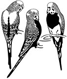 budgerigars black white