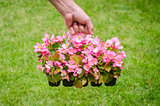 Hand holds container of pink blossom begonia in garden