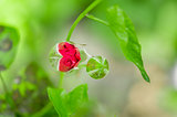 Red rose bud in the blossom garden