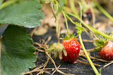 Ripe sweet strawberries, grown on green vine
