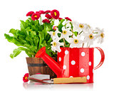 Spring flowers in pot and watering can