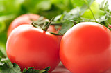 Red tomatoes and parsley on a background of green lettuce
