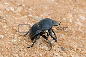 Flightless Dung Beetle in the Addo Elephant National Park