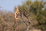 Meerkat on guard