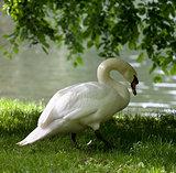 Mute swan on grass