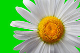 White chamomile on green background