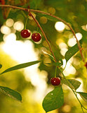 Ripe cherries in the garden on a background of golden bokeh