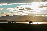 Icelandic Horses against summer night landscape